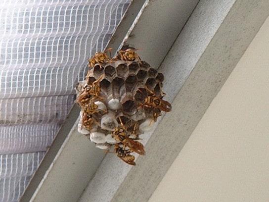 アシナガバチの巣(藤沢市広報より)