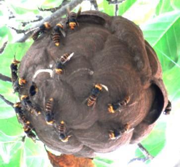 スズメバチの巣(世田谷区広報より)
