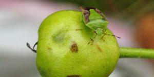 チャバネアオカメムシりんご被害
