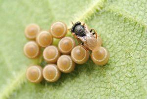 寄生蜂、カメムシの卵につく